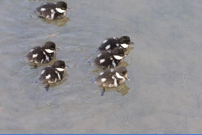 Goldenyeye (Common Goldeneye Ducklings)