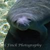 Baby manatee, Blue Spring State Park - Orange City, FL