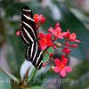 Zebra Longwing (Heliconium)