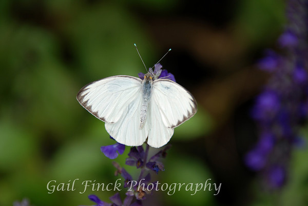 Male Great Southern White Butterfly