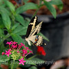 Female Giant Swallowtail (Papilio Cresphontes)