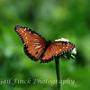 Queen (Milkweed) Butterfly (Danaus Gillipus)