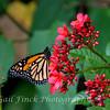 Monarch (Milkweed) Butterfly (Danaus Plexippus)