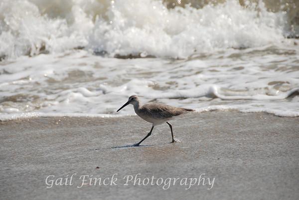 Sandpiper strolling the beach