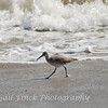 Sandpiper strolling the beach