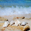 Conch Shells on a rocky beach with the surf rolling in behind them