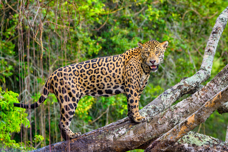 pantanal jaguar