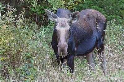 """""""Moose Calf"""""""