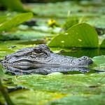 Okeefenokee Swamp, GA
