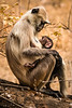 Langur Mother and Baby