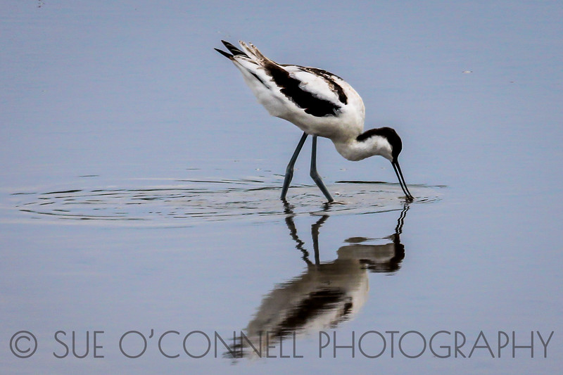 Avocet Foraging