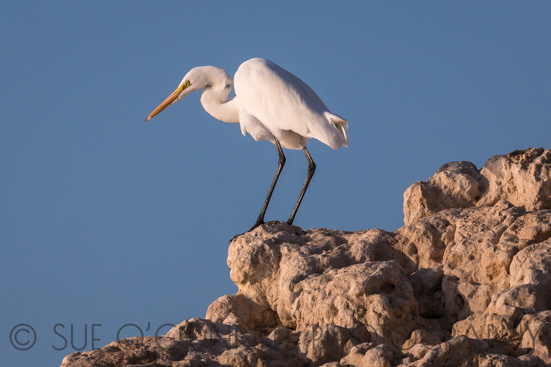 Great Egret Watching for Prey