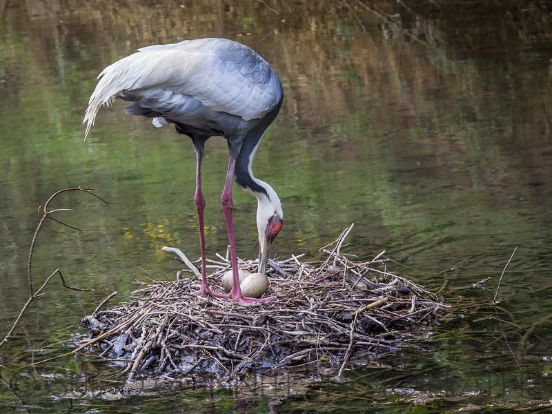 White-Naped Crane Tending Nest