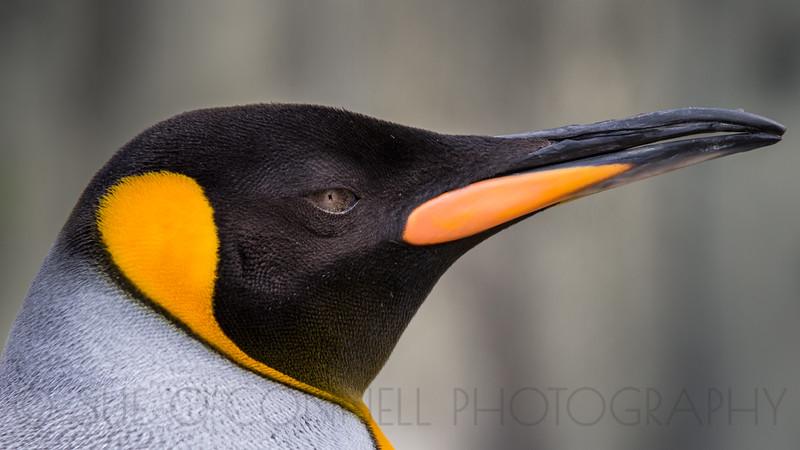 King Penguin (captive)
