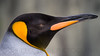 King Penguin (captive)