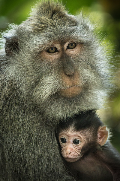 Mother Macaque and Baby
