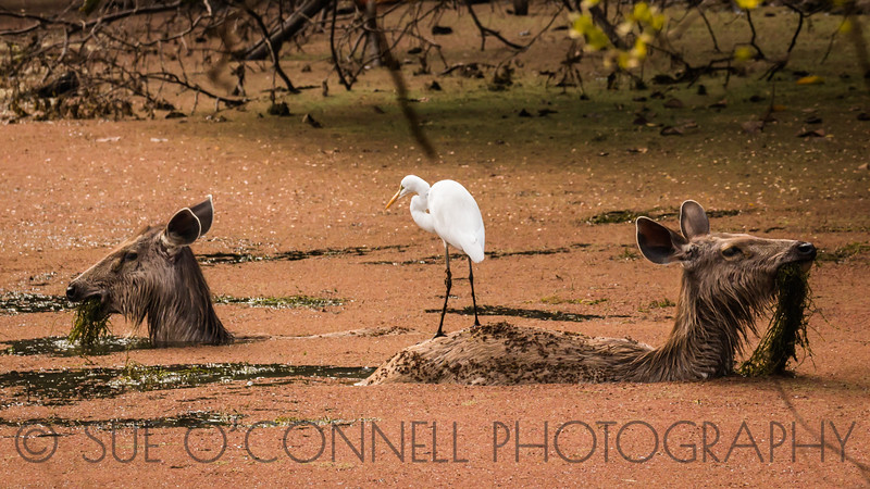 Egret and Sambar Deer