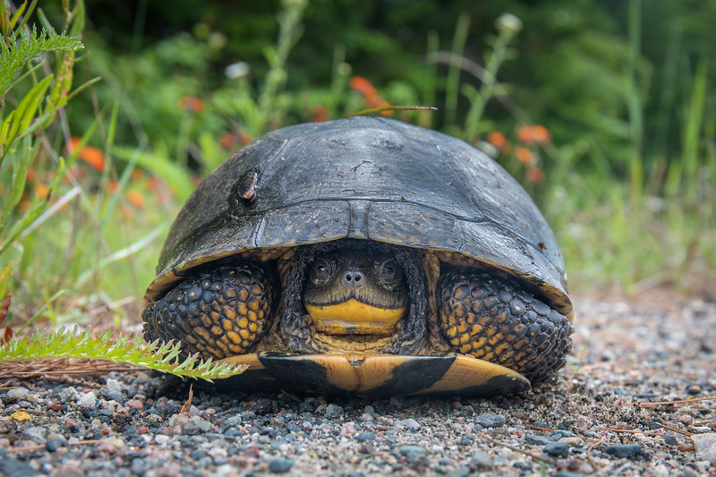 Blanding's Turtle on Highway 522, Ontario