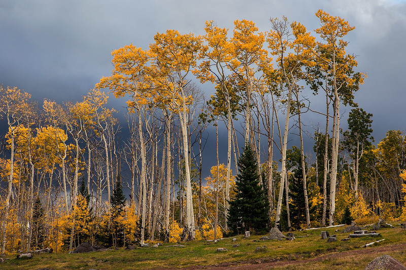 Aspens and Storm Clouds