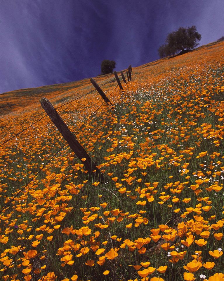 Golden Fields of CA