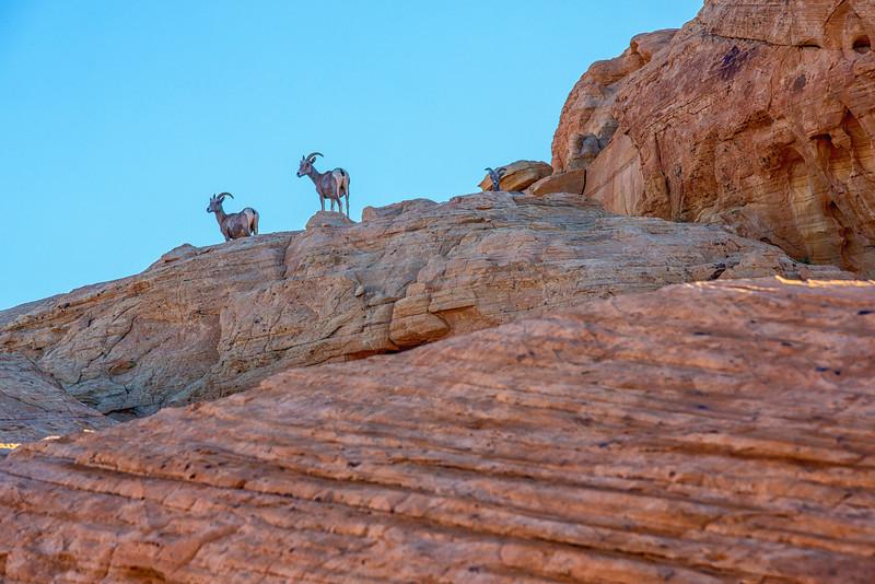 Desert Sheep