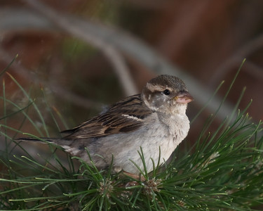 """Sparrow"" Nature/Wildlife"