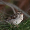 "<center><font style=""font-size:20px"">""<B>Sparrow</B>""</font><br/><br/> <font size=""smaller"">Nature/Wildlife</font></center>"