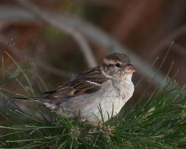 """Sparrow"" Nature/Wildlife"