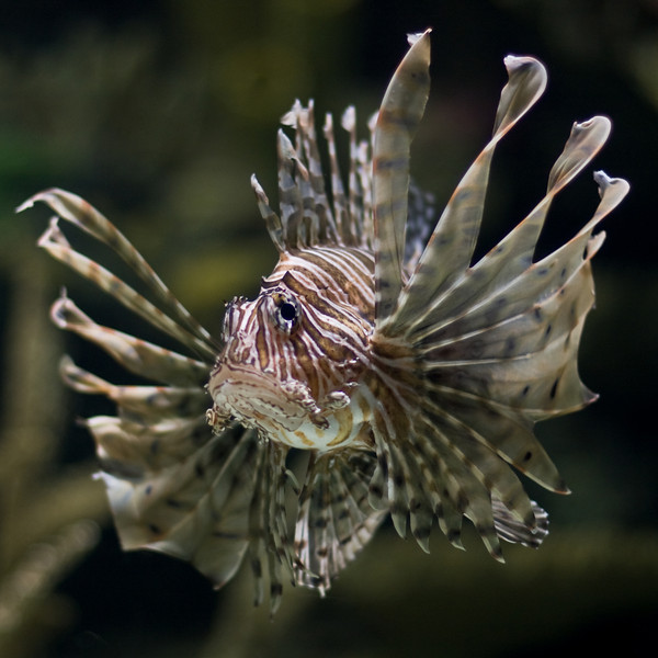 "<center><font style=""font-size:20px"">""<B>Lion Fish</B>""</font><br/><br/> <font size=""smaller"">Nature/Wildlife</font></center>"