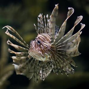 """Lion Fish"" Nature/Wildlife"