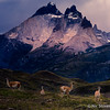 Patagonia - Guanacos and Horns