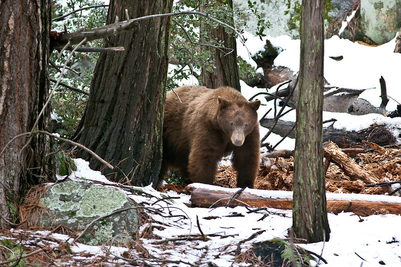 The image above was taken in Yosemite in March 2009. It is the largest bear I've ever seen in the wild. Most of my bear encounters have ended up with the bear running away from me. Not this guy. He just stared me down, as though he was trying to intimidate me. He succeeded.