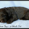 Chocolate-Boy-3-Weeks-Old