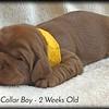 yellow-collar-boy---2-weeks_med-3