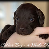 Blue-Collar-Boy---4-Weeks-Old
