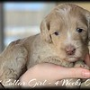 Red-Collar-Girl---4-Weeks-Old