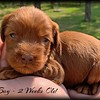 Red-Boy---2-Weeks-Old