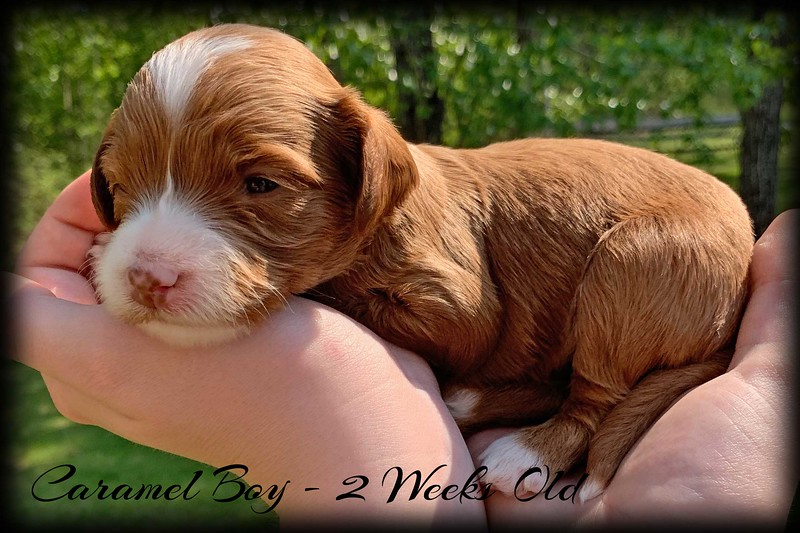 Caramel-Boy---2-Weeks-Old