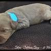 Blue-Collar-Boy---2-Weeks-Old
