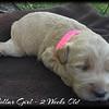 Pink-Collar-Girl---2-Weeks-Old