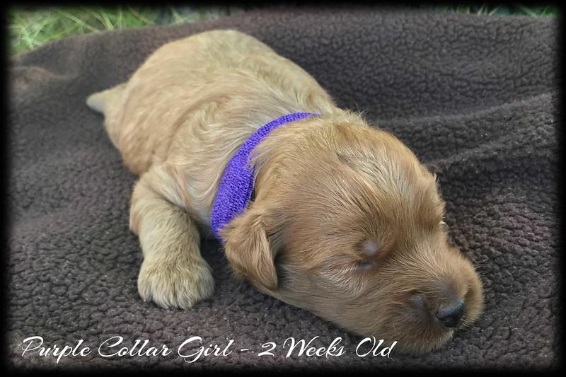Purple-Collar-Girl---2-Weeks-Old