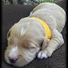 Yellow-Collar-Boy---2-Weeks-Old
