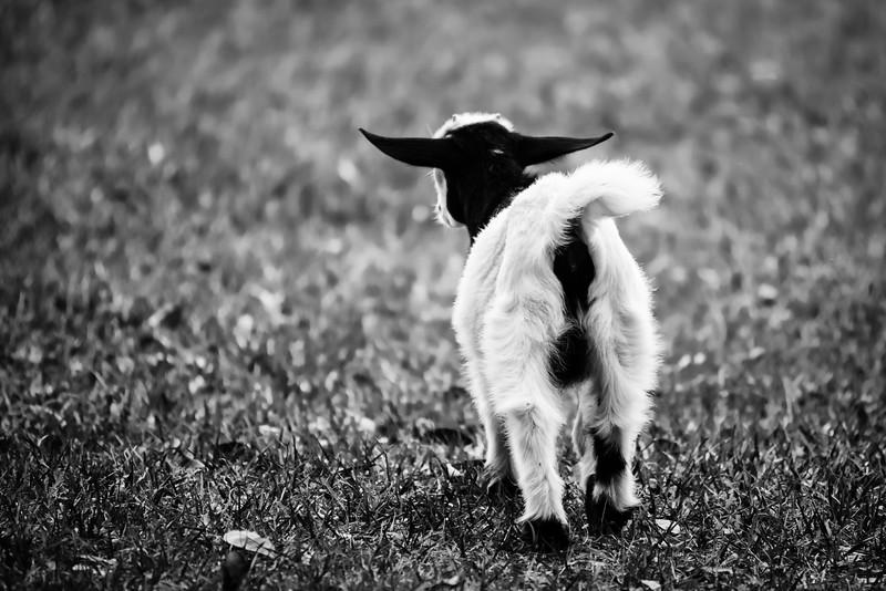 Goat Butt