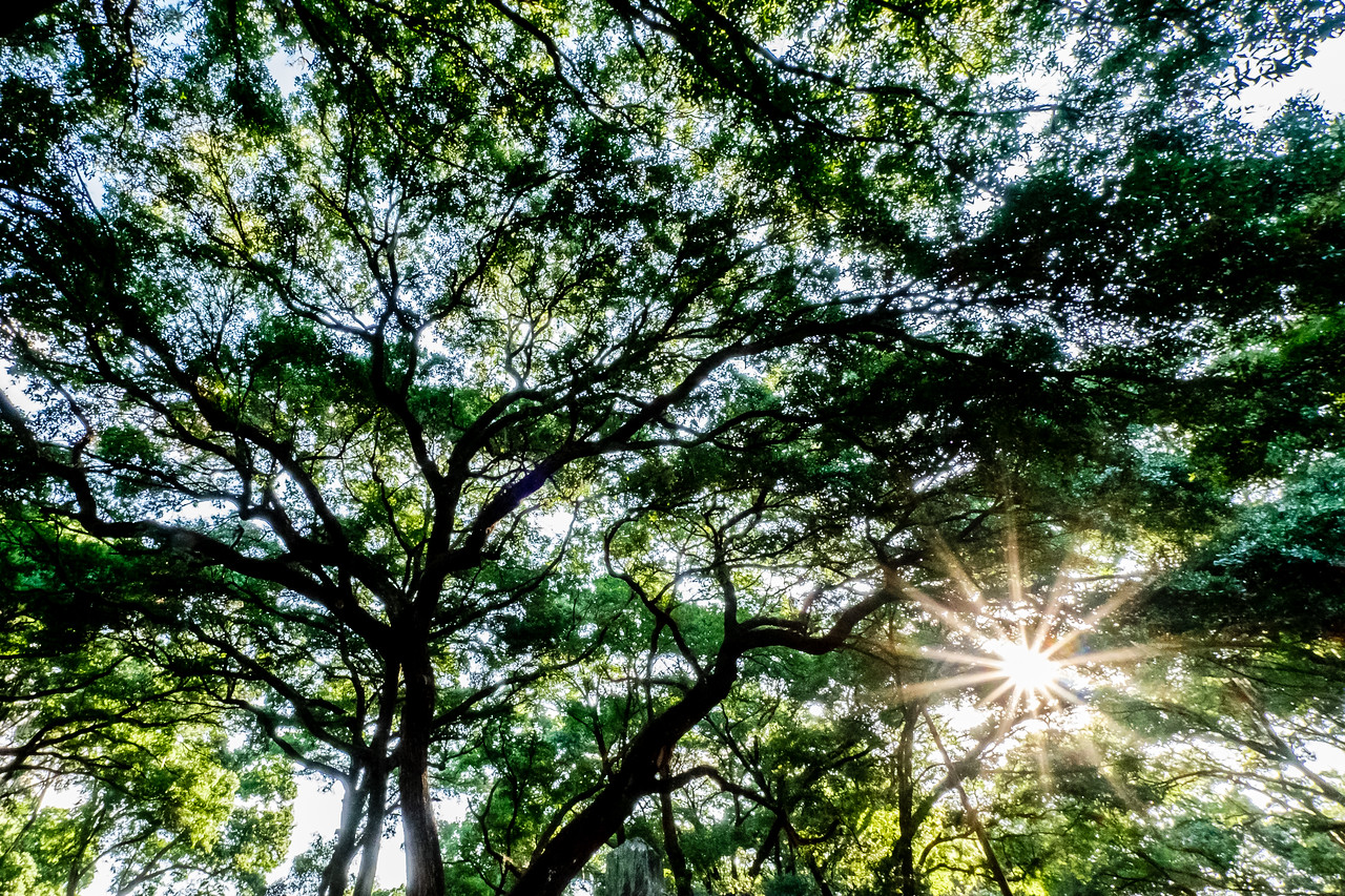 Sunburst Through Live Oaks