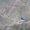 Bluebird in the Dogwood