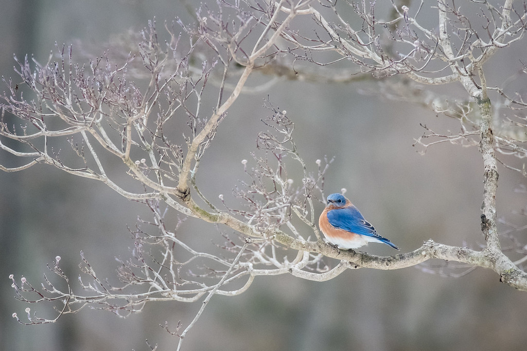 Bluebird in the Dogwood