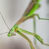 Praying Mantis Eyes