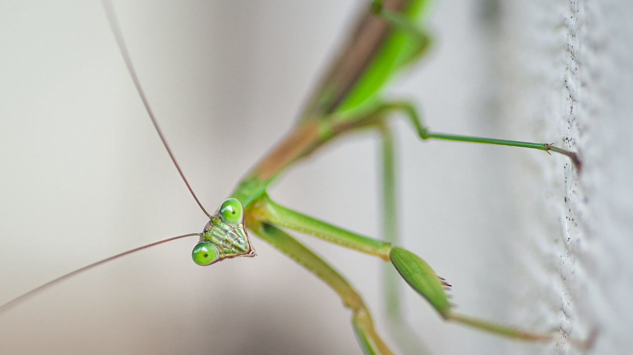 Praying Mantis Eyes