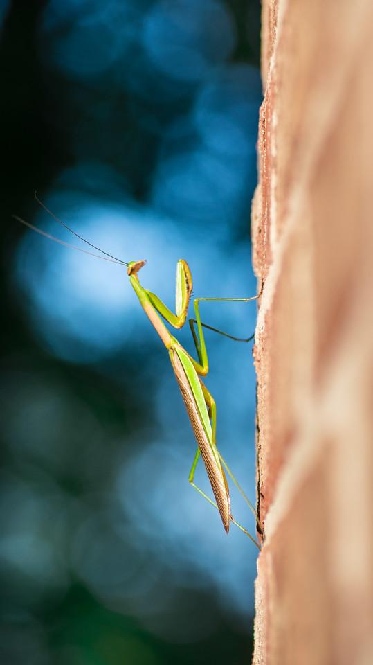 Praying Mantis on Bricks