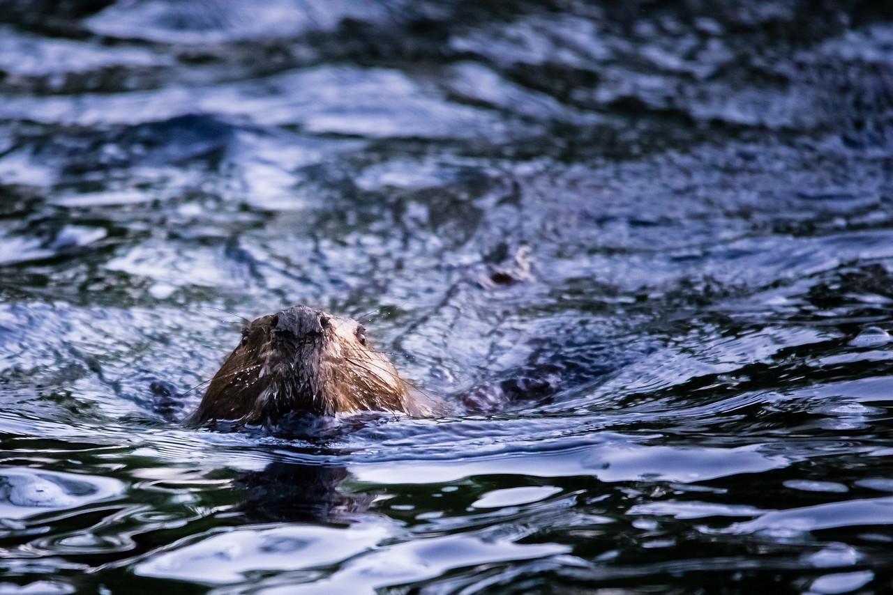 Swimming (Canadian) Beaver